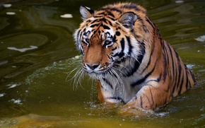 Wallpaper mustache, look, face, water, drops, tiger, predator, tiger, panthera tigris