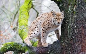 Wallpaper cat, tree, moss, branch, lynx, ©Tambako The Jaguar