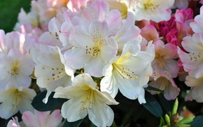 Picture macro, pink, rhododendron, Azalea