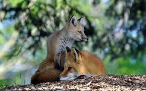 Wallpaper summer, nature, Fox