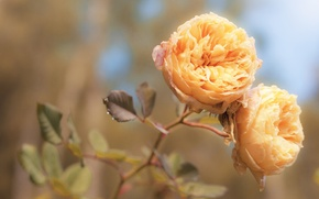 Picture tenderness, macro, flowers, light, orange, treatment, roses, rose, color, petals, peach, buds