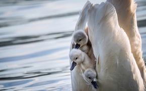 Wallpaper birds, wings, shelter, swans, Chicks