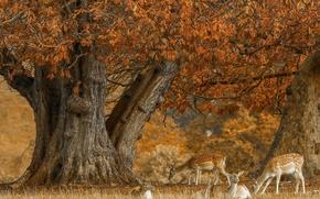 Picture autumn, tree, deer