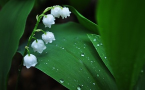 Wallpaper flowers, macro, Lily of the valley, leaves, Rosa, green, lilies of the valley, spring, drops