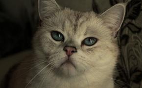 Picture white, eyes, cat, the sun, mood, animal, day, blue eyes, nyasha