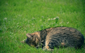 Picture greens, cat, grass, cat, stay, sleep, peace