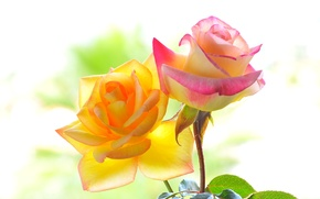 Picture color, macro, background, roses, petals