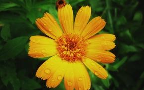 Picture summer, rain, Flower