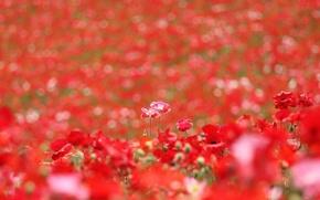 Wallpaper summer, flowers, Maki