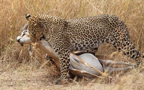 Picture cat, grass, leopard, hunting, carcass
