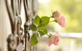 Picture macro, the fence, roses, buds