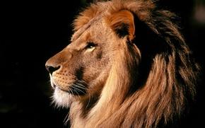 Wallpaper mane, Leo, power, beast