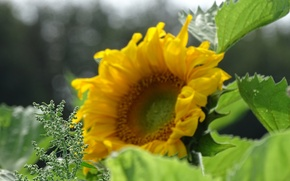 Picture the sun, sunflower, Yellow