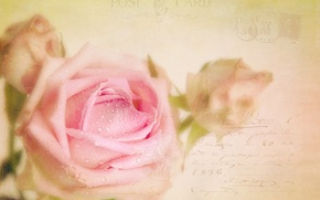 Picture style, rose, texture, buds, postcard