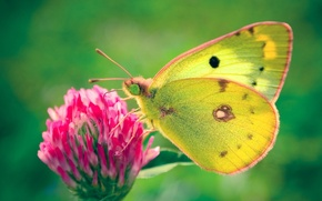 Picture green, Butterfly, clover