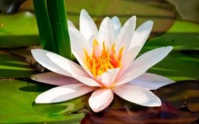 Picture flower, macro, Lotus, Lily, white, water Lily