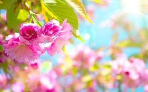 Picture flowers, cherry, pink, Beautiful, flowering, pink, blossom, flowers, cherry, Beautiful