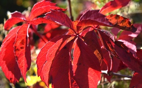 Picture leaves, red, autumn leaves, sinuforte
