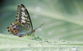 Picture drops, sheet, Rosa, butterfly, plant, tropical