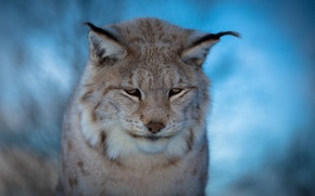 Picture blur, muzzle, blue background, sad, Lynx