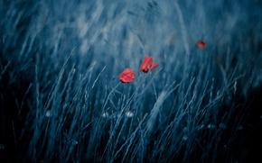 Picture field, nature, the wind, Maki, bokeh