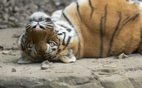 Picture cat, look, face, tiger, stay, Amur