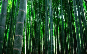 Picture thickets, plant, texture, bamboo