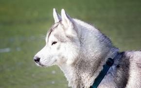 Picture dog, husky, dream
