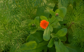 Picture flower, calendula, green leaves