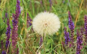 Picture white, summer, dandelion, fluffy, self