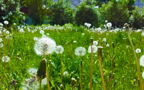 Picture summer, grass, dandelions