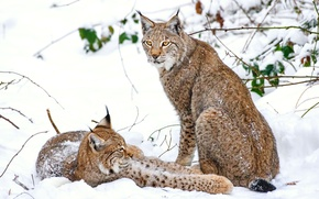 Picture winter, snow, lynx, a couple