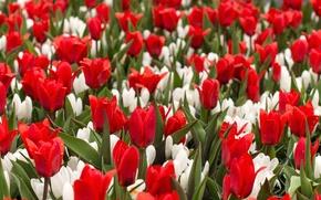 Picture field, flowers, blur, crocuses, tulips
