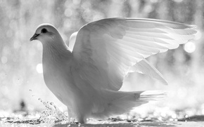 Picture dove, feathers, water, wings, bird, white, squirt