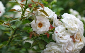 Picture Bush, roses, white, bumblebee