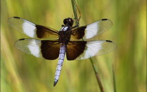 Picture wings, dragonfly, stem, insect