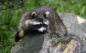Picture look, stump, raccoon