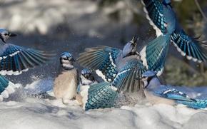 Picture winter, snow, birds, showdown, Blue Jay, jays, rookery