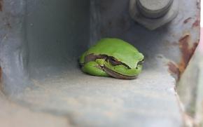 Picture frog, treefrog, wood