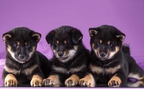 Picture puppies, trio, Akita