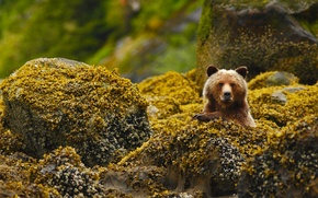 Wallpaper stones, bear, Canada, grizzly, British Columbia, reserve, Great Bear Rainforest