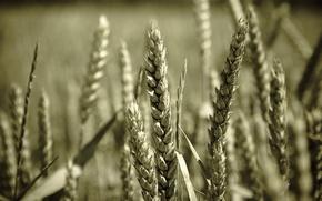 Wallpaper macro, wheat, grain