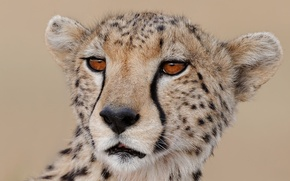 Picture cat, look, face, Cheetah