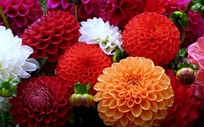 Wallpaper white, flowers, orange, red, colors, dahlias