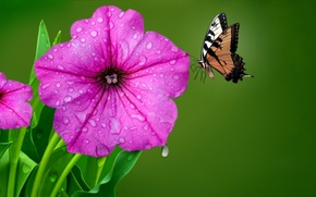 Picture flower, drops, Rosa, butterfly