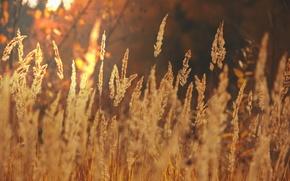 Wallpaper ears, light, nature, gold, field, the sun, autumn, landscape