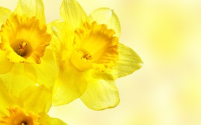 Picture macro, flowers, yellow, daffodils