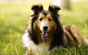 Picture dog, weed, breed, Collie