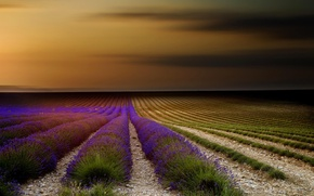 Picture flowers, nature, France, lavender, field, Provence, the sky, sunset