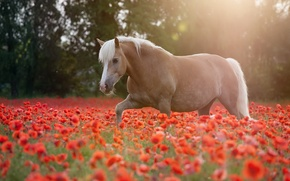 Picture summer, horse, Maki